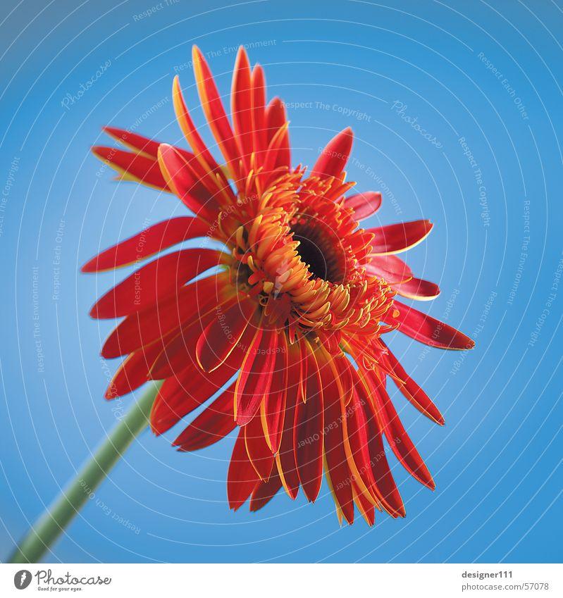 Gerbera vor Blau Natur Blume blau rot Digitalfotografie