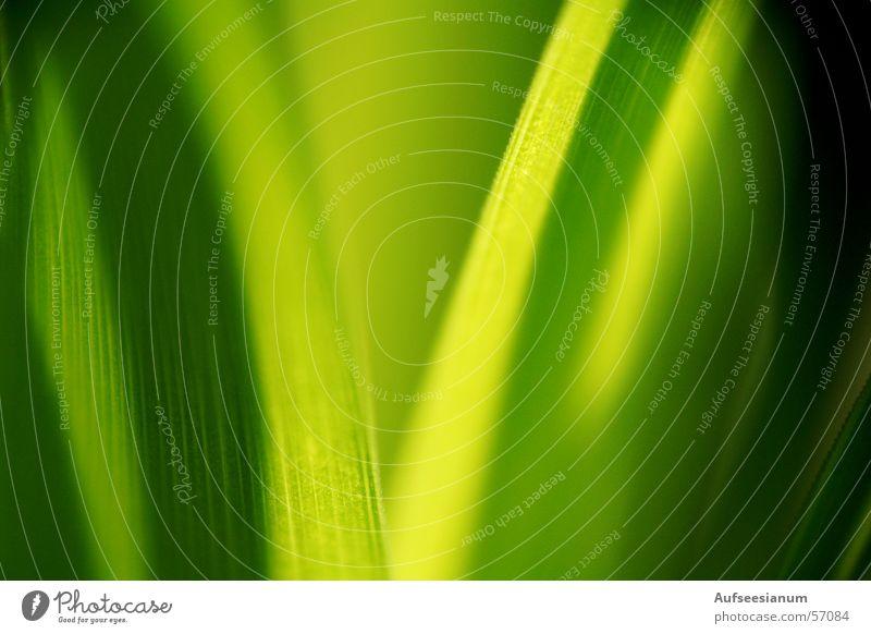 Grasgrün Wiese Blatt Sommer Detailaufnahme Pflanze