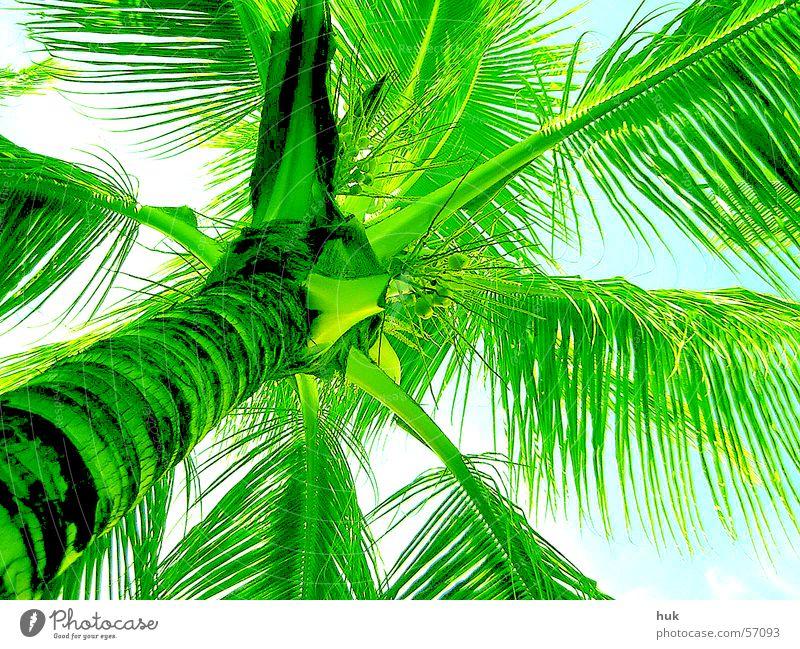unter einer palme Himmel Natur Ferien & Urlaub & Reisen grün Sommer Pflanze Sonne Wärme hell Physik Palme Kuba Dominikanische Republik