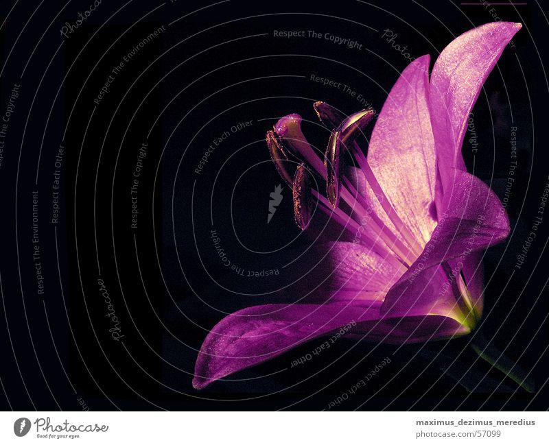 Lilie Blume violett Lilien