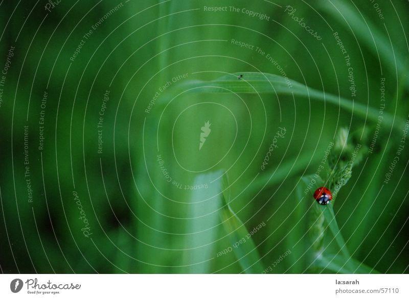 Wo ist das kleine Rot? Natur grün rot Tier Wiese Gras klein nah Marienkäfer