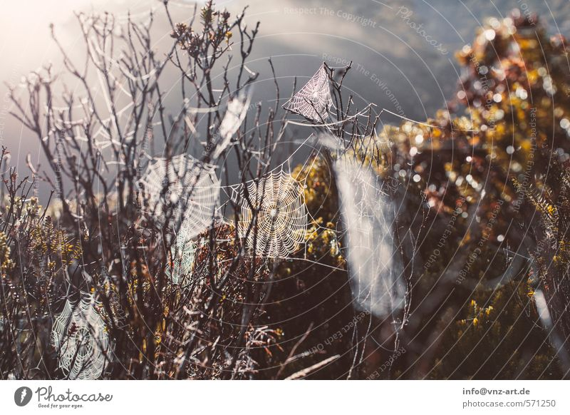 Netz Umwelt Natur Landschaft Klima Wetter Schönes Wetter Pflanze Baum Sträucher Blatt Grünpflanze Wildpflanze Garten Park Feld Wald gold Spinnennetz Tau