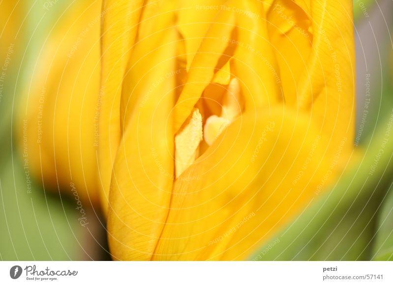 Einblick Frühling Blume Tulpe Blatt Blüte gelb grün Frühlingsgefühle Frühlingsblume aufmachen gerollt Blütenstempel blüttenblätter zerfließen Farbfoto