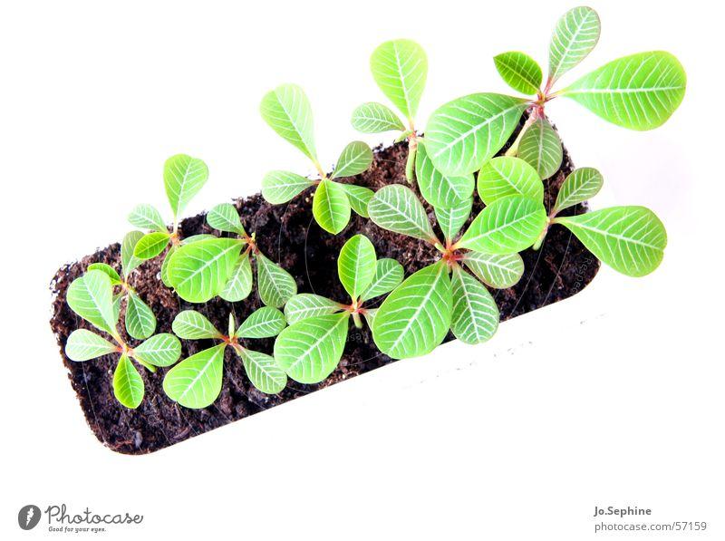 Fensterbankbeet Pflanze Blatt klein Erde Wachstum frisch Ackerbau Botanik Jungpflanze Freisteller Wolfsmilchgewächse