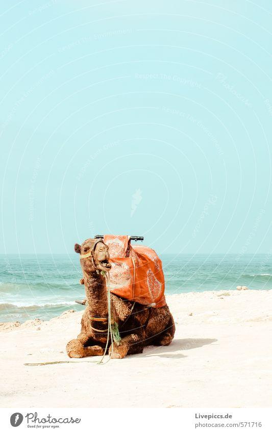 1 Kamel Ferien & Urlaub & Reisen Tourismus Ausflug Abenteuer Ferne Freiheit Sonne Strand Meer Insel Wellen Umwelt Natur Landschaft Wasser Himmel