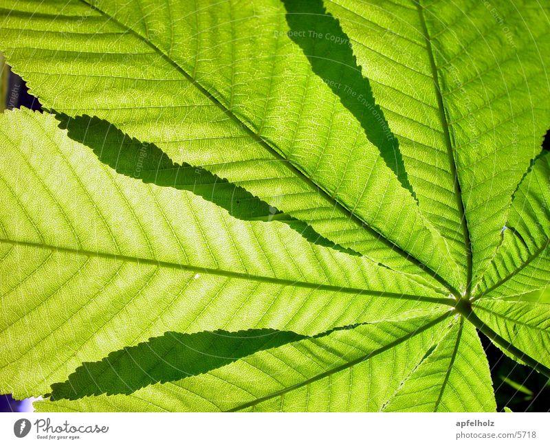 kastanienblätter Baum grün Blatt Kastanienbaum