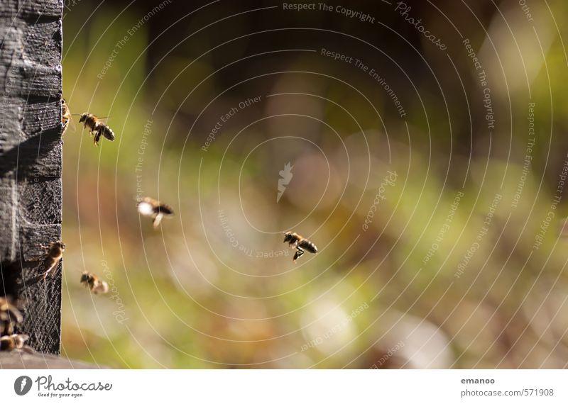 die Fleißigen Lebensmittel Ernährung Arbeit & Erwerbstätigkeit Natur Landschaft Pflanze Tier Frühling Sommer Herbst Biene Flügel Schwarm fliegen Wärme grün