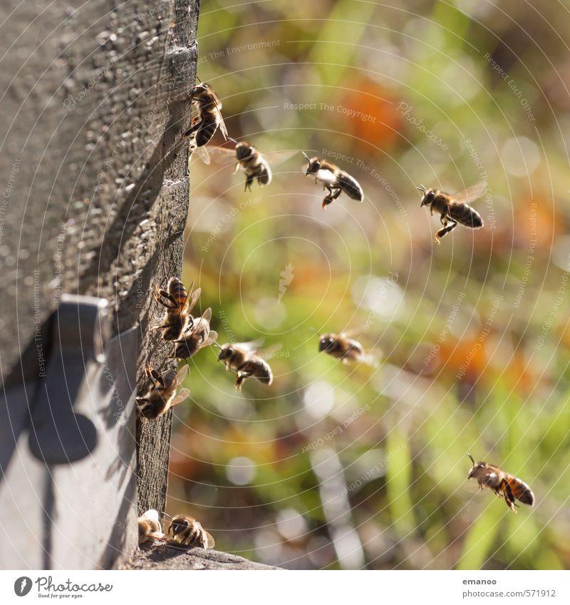 ArbeiterInnen Ernährung Natur Landschaft Pflanze Tier Sonne Frühling Sommer Wetter Wärme Gras Garten Wiese Feld Nutztier Biene Schwarm fliegen klein grün
