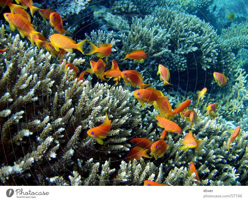 Leben im Riff tauchen Unterwasseraufnahme Fahnenbarsch Fisch Wasser Rotes Meer Ägypten