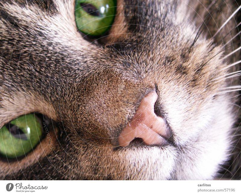 Katzen würden Whisky saufen ... Katze grün Tier Fell Gesichtsausdruck Tiergesicht Haustier Hauskatze direkt Schnauze Blick Schnurrhaar Katzenauge Schnurren hypnotisch Gesichtsausschnitt