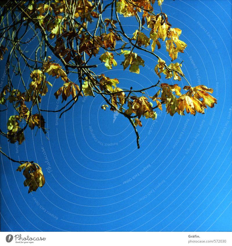 Kastanie Himmel Natur blau Pflanze Baum gelb Umwelt Herbst Vergänglichkeit Wandel & Veränderung Pause Wolkenloser Himmel Ende stagnierend verblüht dehydrieren