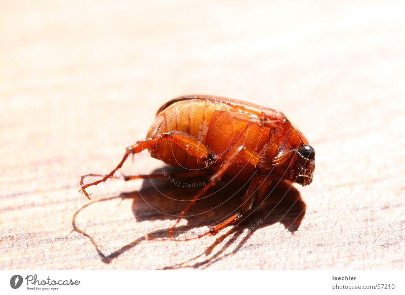 totes insekt Insekt Tier Makroaufnahme Käfer