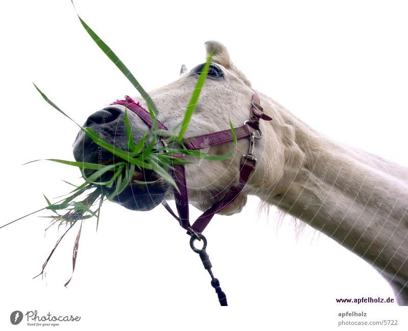 pferd schmeckts Pferd Ernährung verrückt frisch Gras Fototechnik