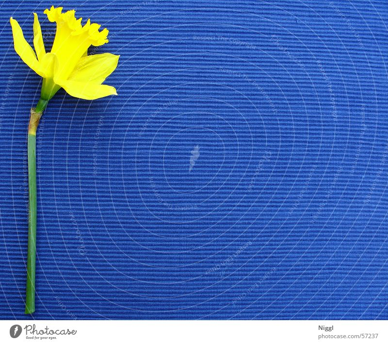 kelp.plau Blume blau Pflanze gelb Farbe Narzissen Gelbe Narzisse