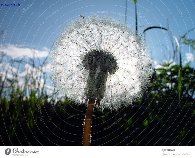 feinste pusteblume Himmel Sonne Blume Gras Frühling Makroaufnahme