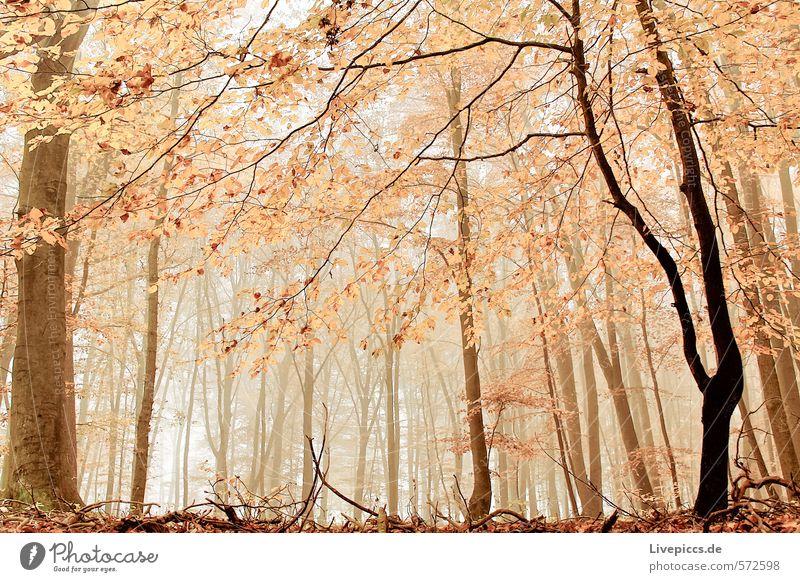 auch im Wald Natur Pflanze Baum Landschaft ruhig Blatt Umwelt Wärme feminin Herbst Holz natürlich braun orange Nebel