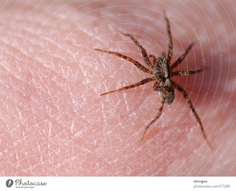 Spinne Natur Hand Tier Bewegung Beine braun Angst Haut klein rosa sitzen gefährlich nah Tiergesicht bedrohlich Insekt