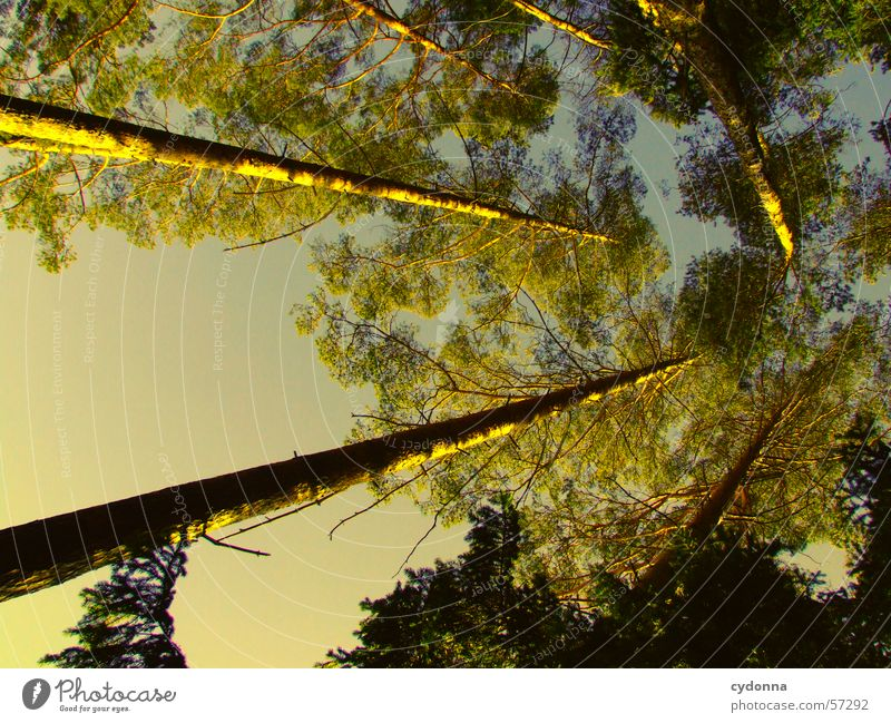 Ab in den Himmel Baum Wald oben Perspektive Tanne Baumstamm Nadelwald
