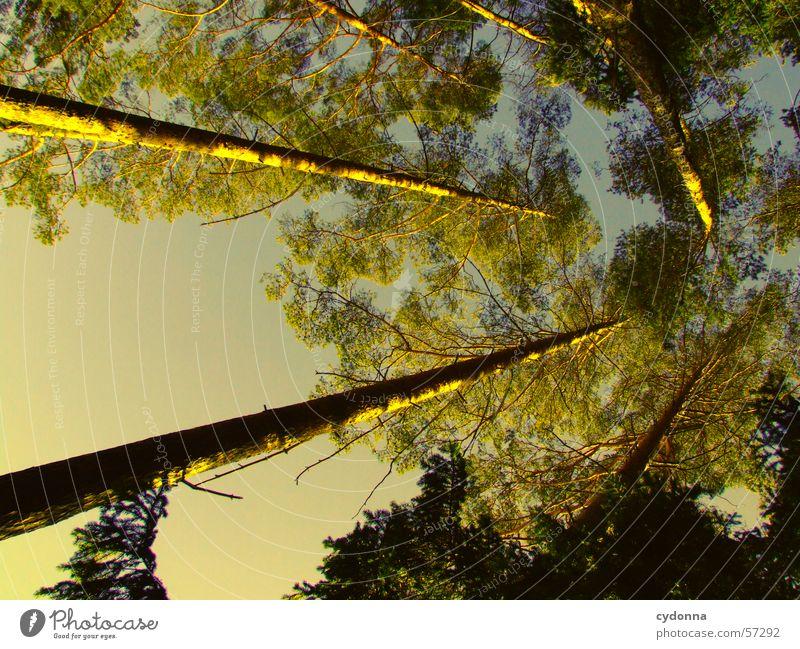 Ab in den Himmel Baum Wald Tanne Nadelwald Licht Perspektive Blick oben Baumstamm