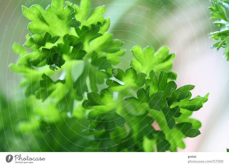 Es grünt so grün Pflanze Blatt Kräuter & Gewürze fein Heilpflanzen Petersilie Topfpflanze kraus Gartenpflanzen