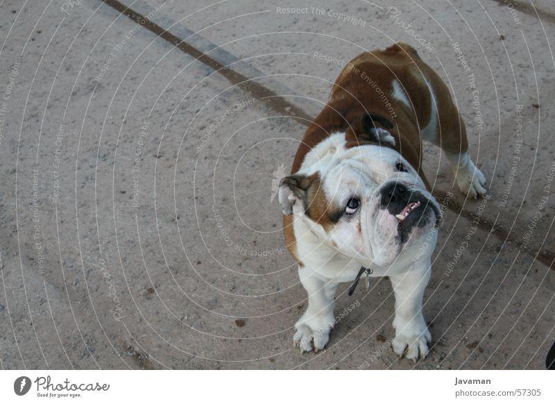 Das Model Hund Bellen