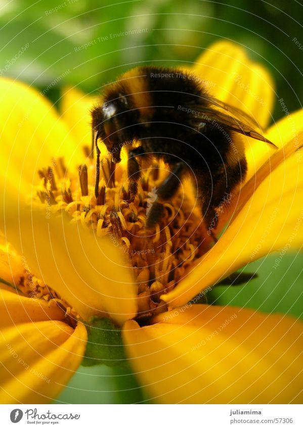 fleißige Hummel Blume Blüte Fell Staubfäden Rüssel Nektar