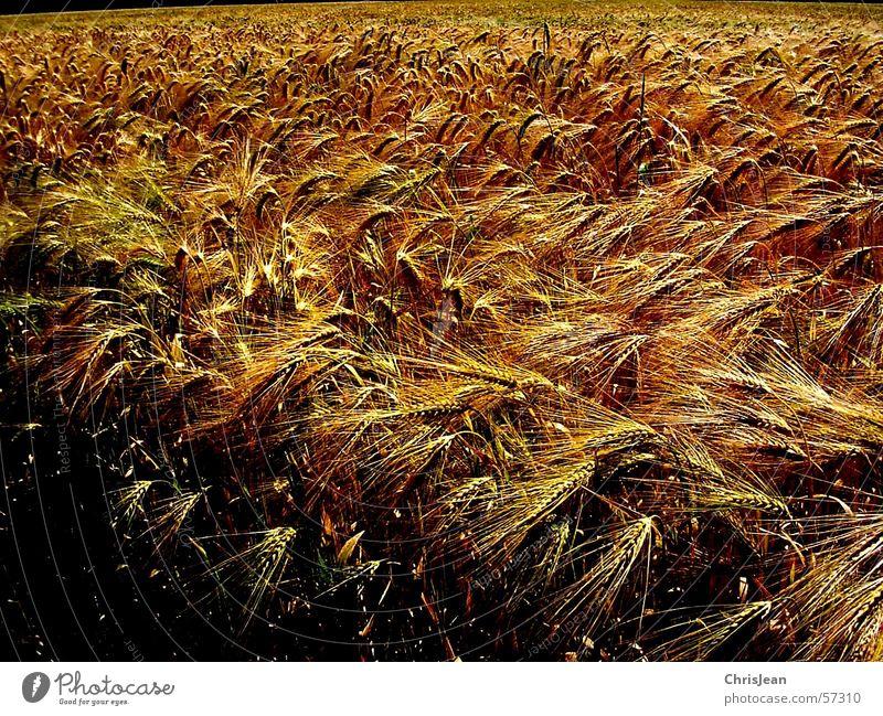 Titellos Getreide Landschaft Feld blau gelb Weizen Ebene Niederrhein stechend Feldarbeit Gerste Ähren corn Ernte Amerika blue Farbfoto