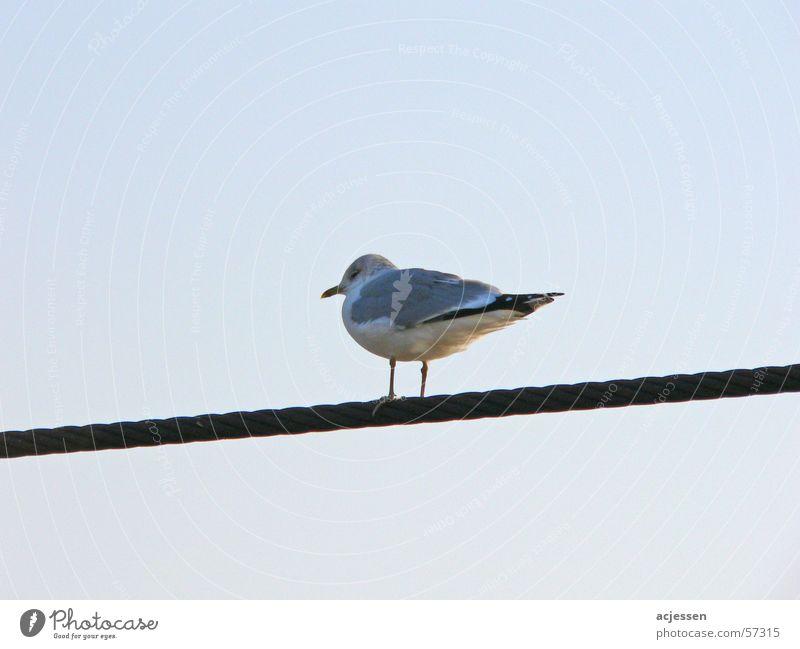 MewWireRope Möwe Möwenvögel kalt Drahtseil Vogel ruhig mew sea mew Himmel blau bird stranded wire wire rope wire cable silence