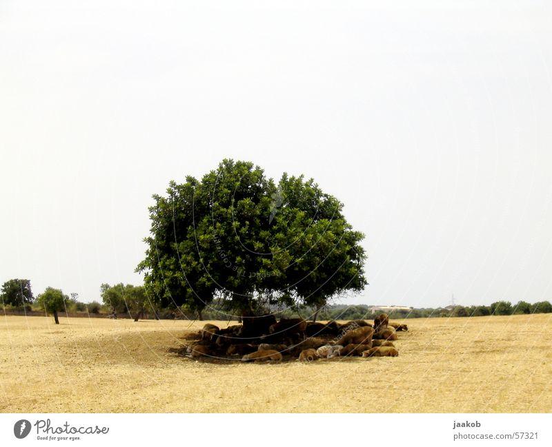 Schattenschafe Baum ruhig Wärme Physik heiß Schaf Dürre