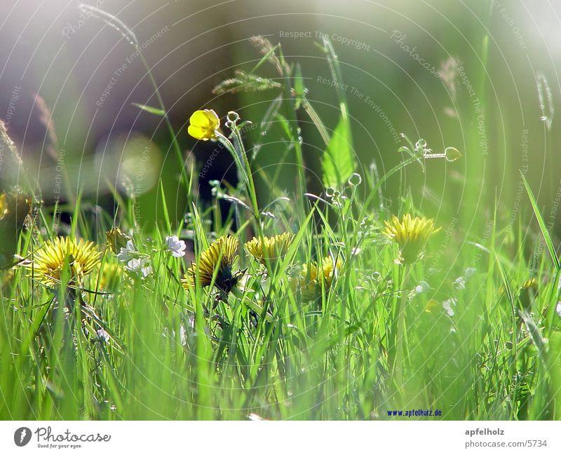 luftig duftige wiese Natur Blume Wiese