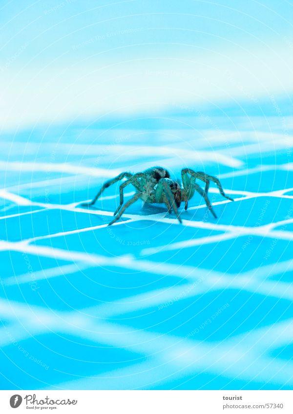 Wolfsspinne Spinne Schwimmbad Italien Umbrien Physik Gift gefährlich Wärme Wasser bedrohlich