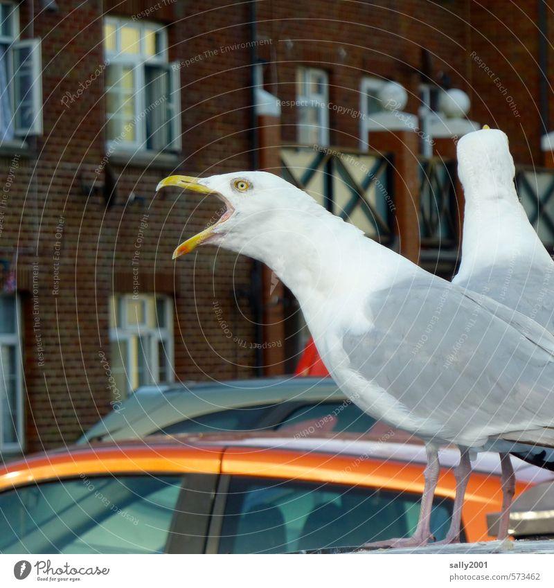 ich kann am lautesten!!! Fischerdorf Fassade PKW Tier Vogel Möwe 2 Kommunizieren schreien bedrohlich Neugier verrückt weiß Euphorie Willensstärke Mut Wut