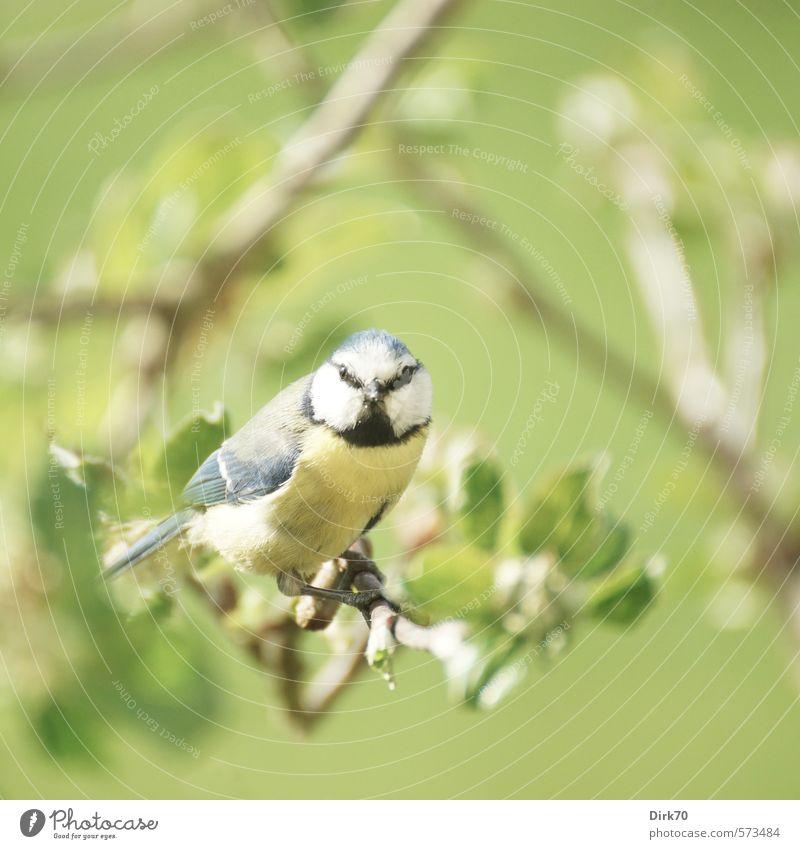 Here's looking at you, kid blau grün weiß Baum Blatt Tier schwarz gelb Leben Frühling klein Garten Vogel sitzen Wildtier Schönes Wetter