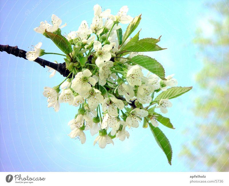 baumblüten Baum Blüte Frühling