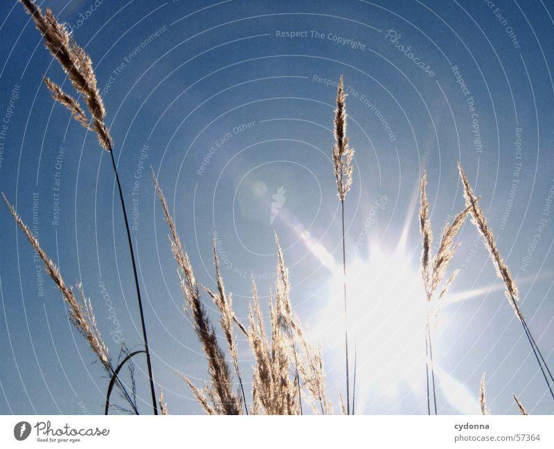 Ich bin geblendet. Natur Himmel Sonne blau Sommer Gras Wärme Beleuchtung Physik Schilfrohr Halm Schönes Wetter blenden Eindruck