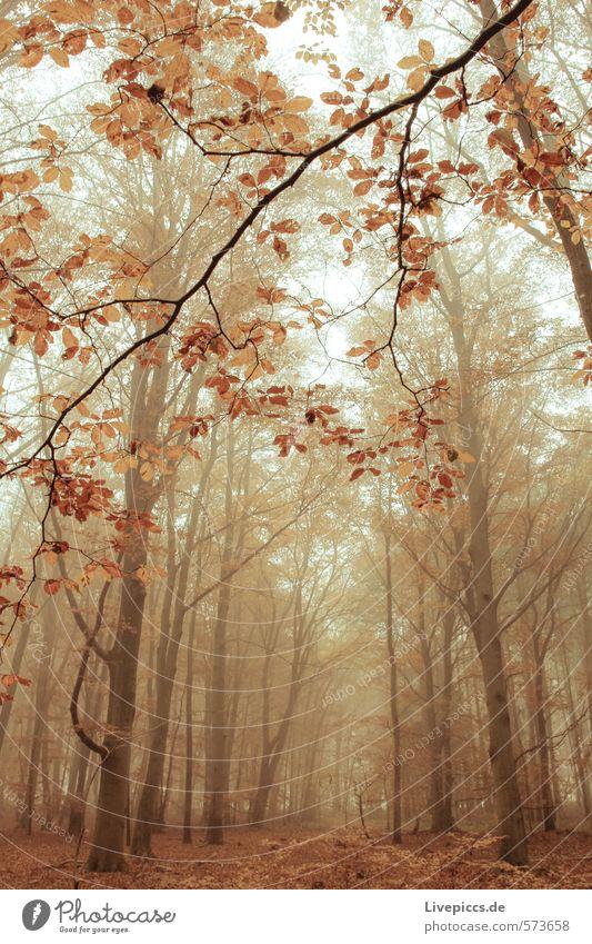im Wald Umwelt Natur Landschaft Pflanze Herbst Baum Blatt Wildpflanze Holz dunkel Wärme wild weich ruhig Nebelstimmung Nebelschleier Farbfoto Gedeckte Farben