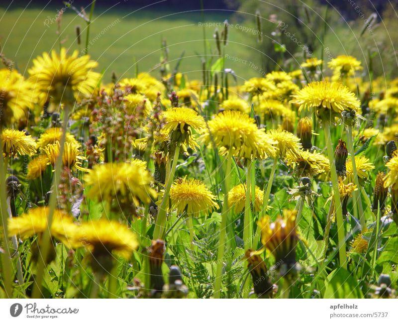 löwenzähne Blume gelb Frühling Wiese