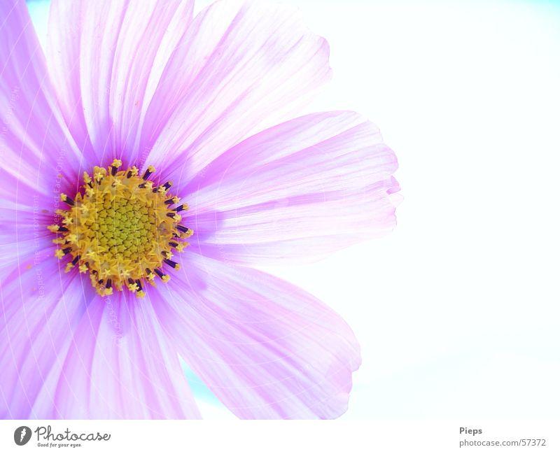 Antidepressivum Farbfoto Innenaufnahme Makroaufnahme Textfreiraum rechts Hintergrund neutral schön Sommer Natur Pflanze Blume Blüte Blühend ästhetisch