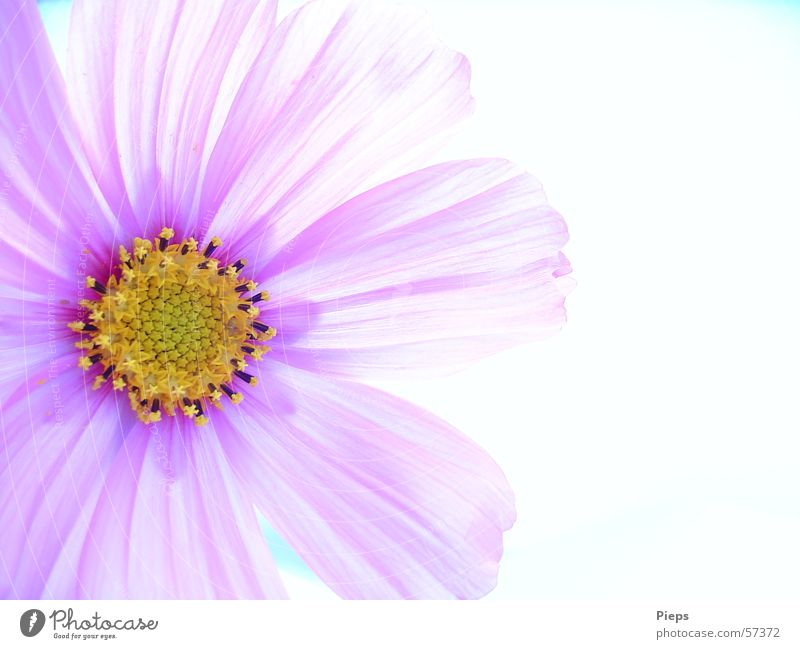Antidepressivum Natur schön Blume Pflanze Sommer Leben Blüte Fröhlichkeit ästhetisch violett Vergänglichkeit zart Blühend Schmuckkörbchen