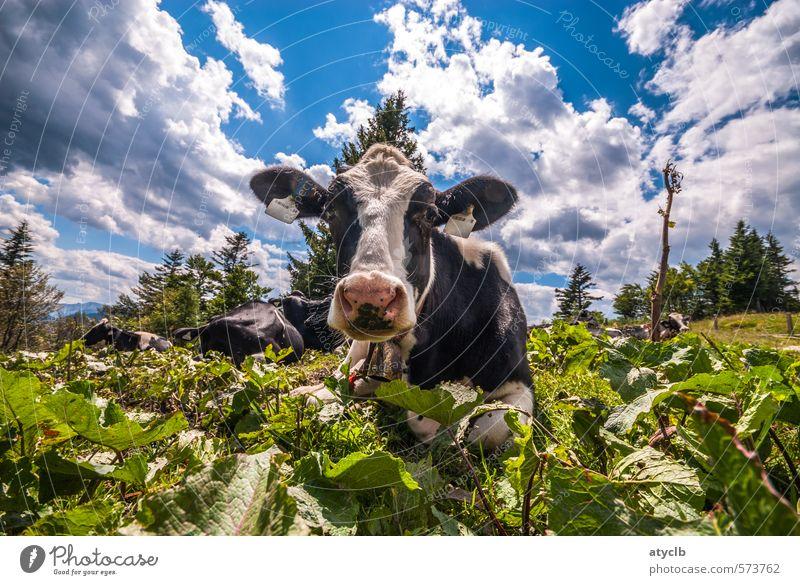 Muh Himmel Natur Ferien & Urlaub & Reisen blau schön grün Sommer Wolken Tier Umwelt Berge u. Gebirge Wärme Glück braun Tourismus wandern