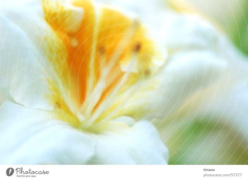 Bremer Blüte 2 Makroaufnahme gelb weiß Doldenblüte Blume Pflanze Nahaufnahme Frühling white flower