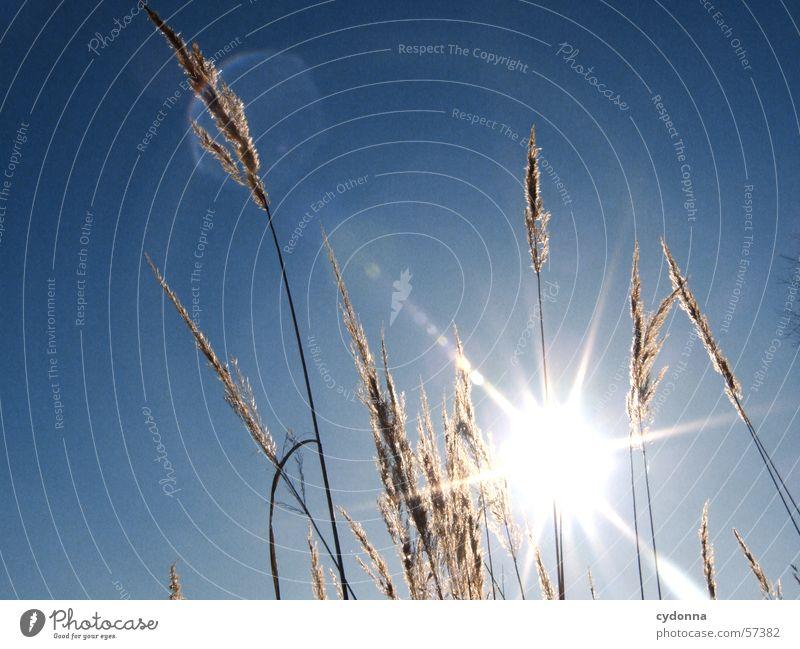 Ich bin geblendet. I Natur Himmel Sonne blau Pflanze Sommer Gras Stimmung Schilfrohr blenden Eindruck