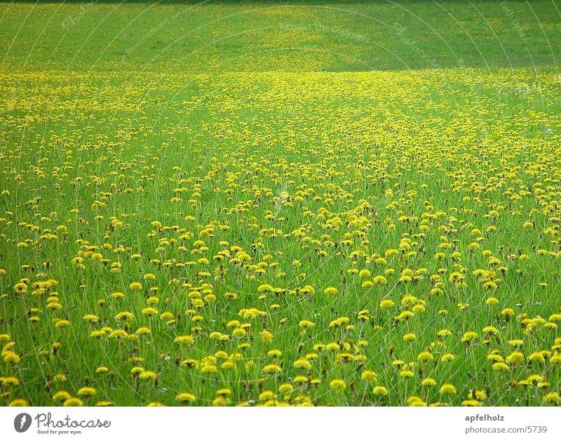 unendliche blumenwiese Wiese Frühling Hintergrundbild