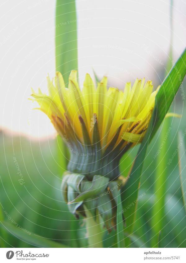 gelbes blümchen Löwenzahn Gras grün Natur