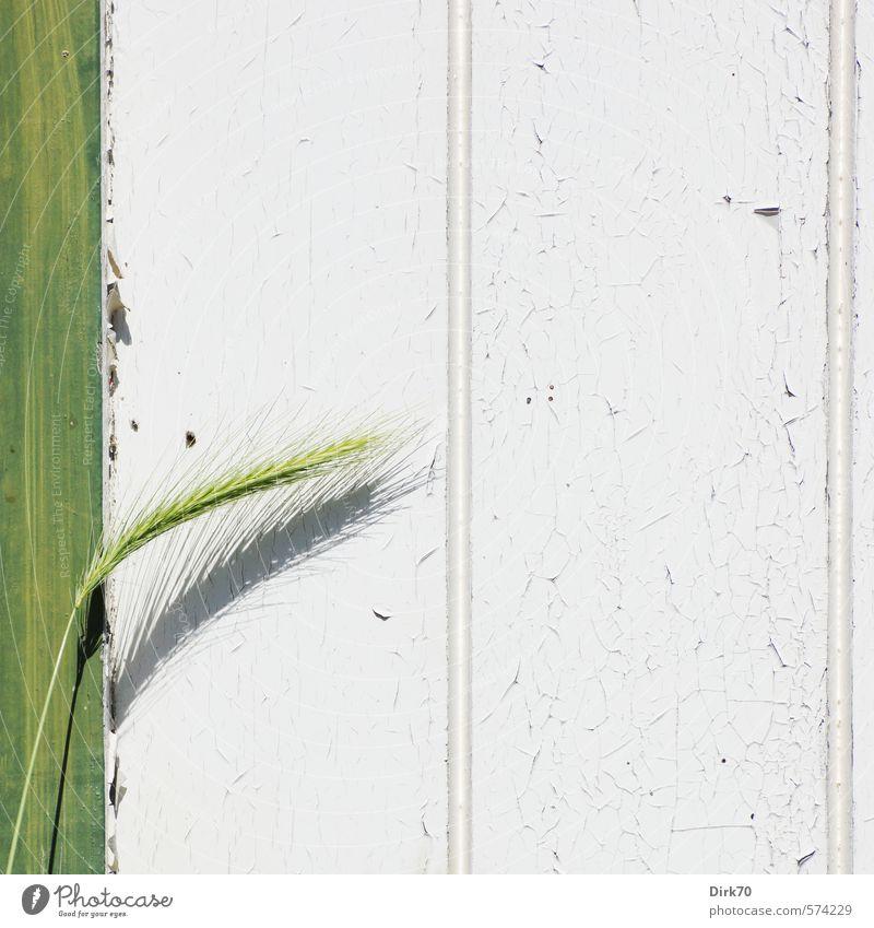 Es ist mir eine Ähre grün weiß Pflanze Wand Farbstoff Gras Mauer Frühling grau Holz Garten Lebensmittel Tür Wachstum Schönes Wetter frisch