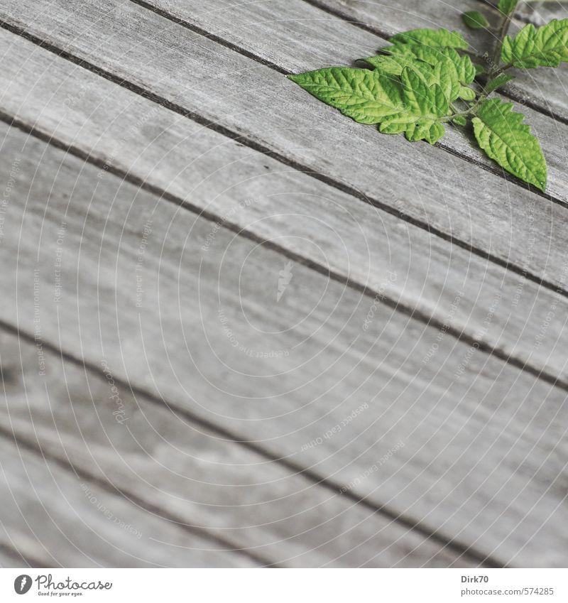 Haustomate, zögerlich grün Pflanze Blatt schwarz Gesunde Ernährung grau Holz natürlich Linie Garten liegen Wachstum frisch Tisch Streifen Zweig