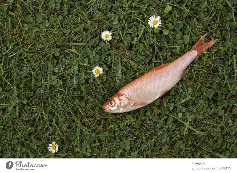 Wiesenfisch Lebensmittel Fleisch Fisch Meeresfrüchte Ernährung Gesundheit Natur Pflanze Blume Gras Grünpflanze Gänseblümchen Sportrasen Garten Tier Totes Tier