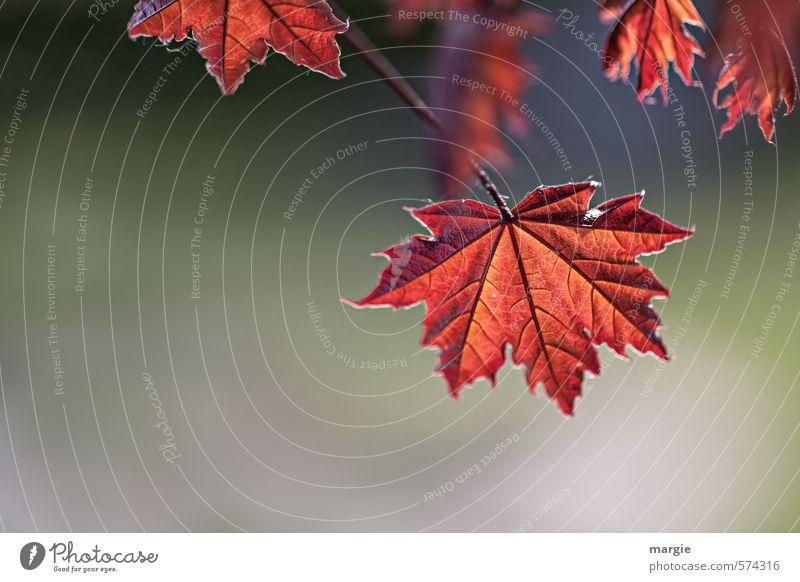 Einzigartig! Umwelt Natur Landschaft Pflanze Tier Herbst Baum Sträucher Blatt Grünpflanze Nutzpflanze Blätterdach Garten Wald Laubwald rot Senior Jahreszeiten