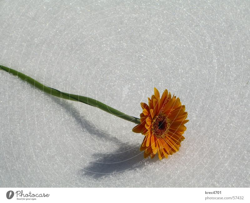 Blume im Schnee 2 weiß Blume grün Schnee hell orange