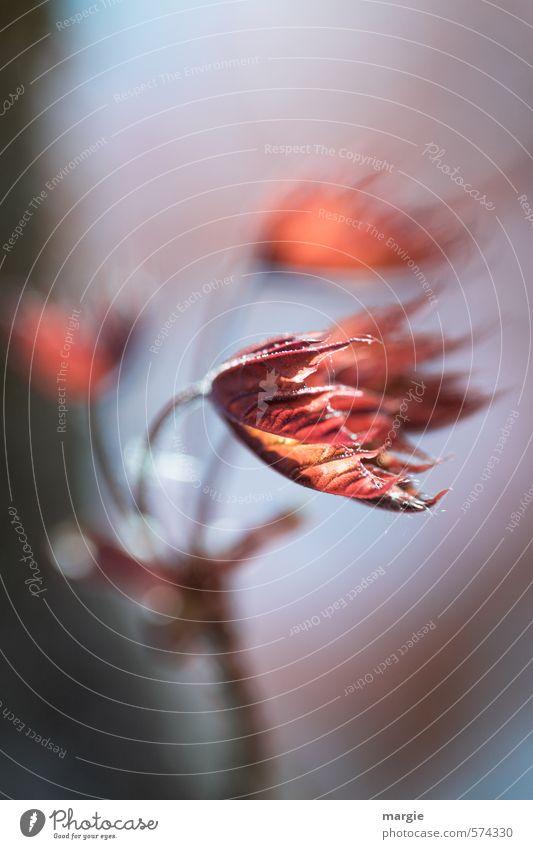Durchhalten! Rote Blätter im Wind Umwelt Natur Landschaft Pflanze Tier Herbst Sturm Eis Frost Baum Sträucher Blatt Grünpflanze Laubwald Herbstlaub herbstlich